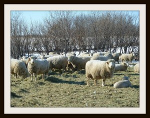 A flock of Dorset ewes contentedly standing and laying down in the sunshine.